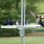 Purple Martins feasting at their Bed & Breakfast